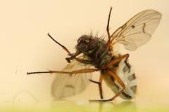 Makro av en fruktfluga Royaltyfri Foto