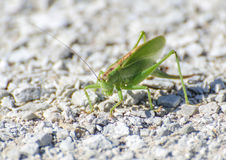 Makro av en gräshoppa Royaltyfria Bilder