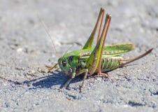 Makro av en gräshoppa Royaltyfri Bild