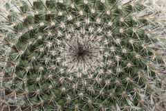Makro av en kaktus Royaltyfria Bilder