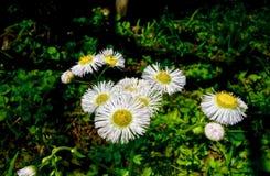 Makro av en klunga av litet växa för vita blommor bredvid ett damm Arkivfoton