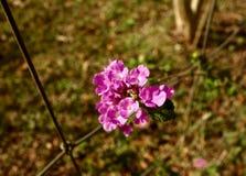 Makro av en klunga av rosa blommor Arkivbild