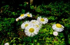 Makro av en klunga av litet växa för vita blommor bredvid ett damm Arkivbild