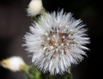 Makro av en lös blomma Arkivbilder