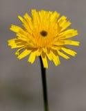 Makro av en lös blomma Arkivfoto