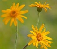 Makro av en lös blomma: Arnika montana Royaltyfria Bilder