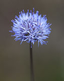 Makro av en lös blomma: Jasione montana Royaltyfri Bild