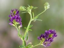 Makro av en lös blomma: Sativa Medicago Royaltyfria Bilder