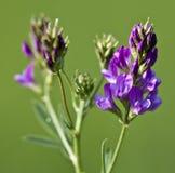 Makro av en lös blomma: Sativa Medicago Royaltyfri Foto