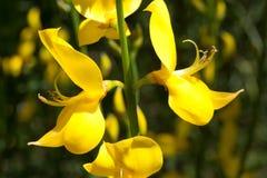 Makro av en lös blomma: Spartiumjunceum royaltyfria foton
