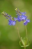 Makro av en lös blomma: Veronica-austriacateucrium Arkivfoto
