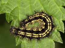 Makro av en larv: Aglais urticae Royaltyfri Bild