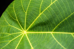Makro av en leaf royaltyfri foto
