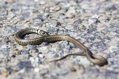 Makro av en orm på asfalt arkivbild