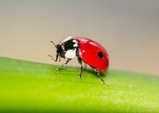 Makro av en röd nyckelpiga Arkivfoto