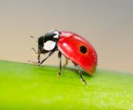 Makro av en röd nyckelpiga Arkivbild
