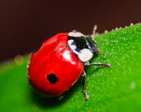 Makro av en röd nyckelpiga Royaltyfria Foton
