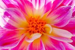 Makro av en rosa dahliablomma med vita band royaltyfria bilder