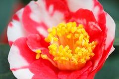 Makro av en roskameliajaponica royaltyfria foton
