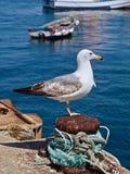 Makro av en seagull i sagres i Portugal royaltyfri bild