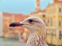 Makro av en seagull i Venedig arkivfoton