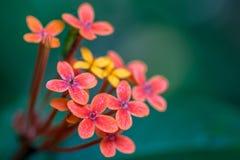 Makro av enkla blommor Fotografering för Bildbyråer