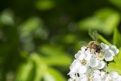 Makro av ett bi på Whitethorn Arkivbilder