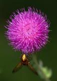 Makro av ett kryp: Volucella inanis Arkivfoton