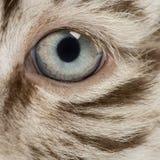Makro av ett vitt öga för tigergröngöling arkivfoton