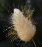 Makro av fluffigt gräs Arkivfoton