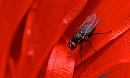Makro av flugan på röda blommakronblad Royaltyfria Bilder