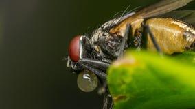 Makro av flugor eller det klipska krypet Arkivbilder