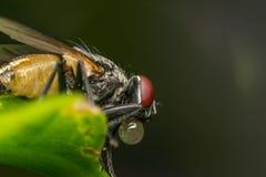 Makro av flugor eller det klipska krypet Royaltyfria Bilder