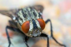 Makro av flugor eller det klipska krypet Arkivfoton