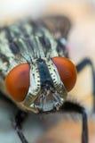 Makro av flugor eller det klipska krypet Arkivfoto