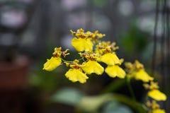 Makro av gula orkidér Royaltyfria Foton