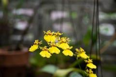 Makro av gula orkidér Arkivbilder