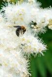 Makro av honungbiet som matar på vita blommor Royaltyfri Foto