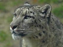 Makro av huvudet av en snöleopard royaltyfria foton