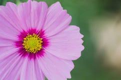 Makro av kosmosblomman av guling- och rosa färgfärger Royaltyfria Bilder
