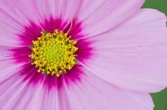 Makro av kosmosblomman av guling- och rosa färgfärger Fotografering för Bildbyråer