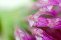 Makro av kronbladen Royaltyfria Bilder