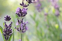 makro av lavendelblommor arkivfoto