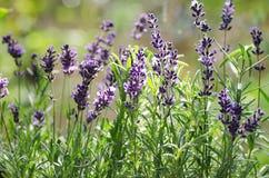 makro av lavendelblommor arkivfoton