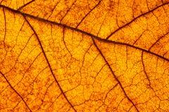 Makro av leafen Royaltyfria Bilder
