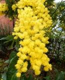 Makro av mimosan Royaltyfri Fotografi