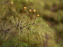 Makro av moss Royaltyfria Bilder
