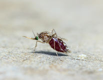 Makro av myggan & x28; Aedesaegypti& x29; sugande blodslut upp royaltyfri bild