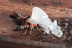 Makro av myran Arkivbilder