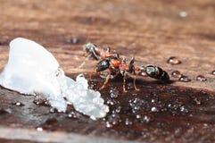 Makro av myran Arkivfoto